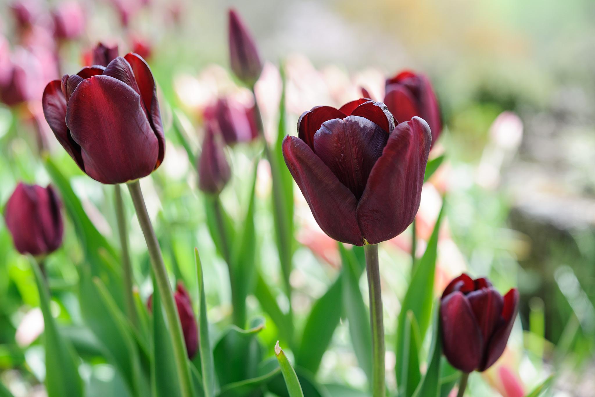 tulipa-jan-reus-2