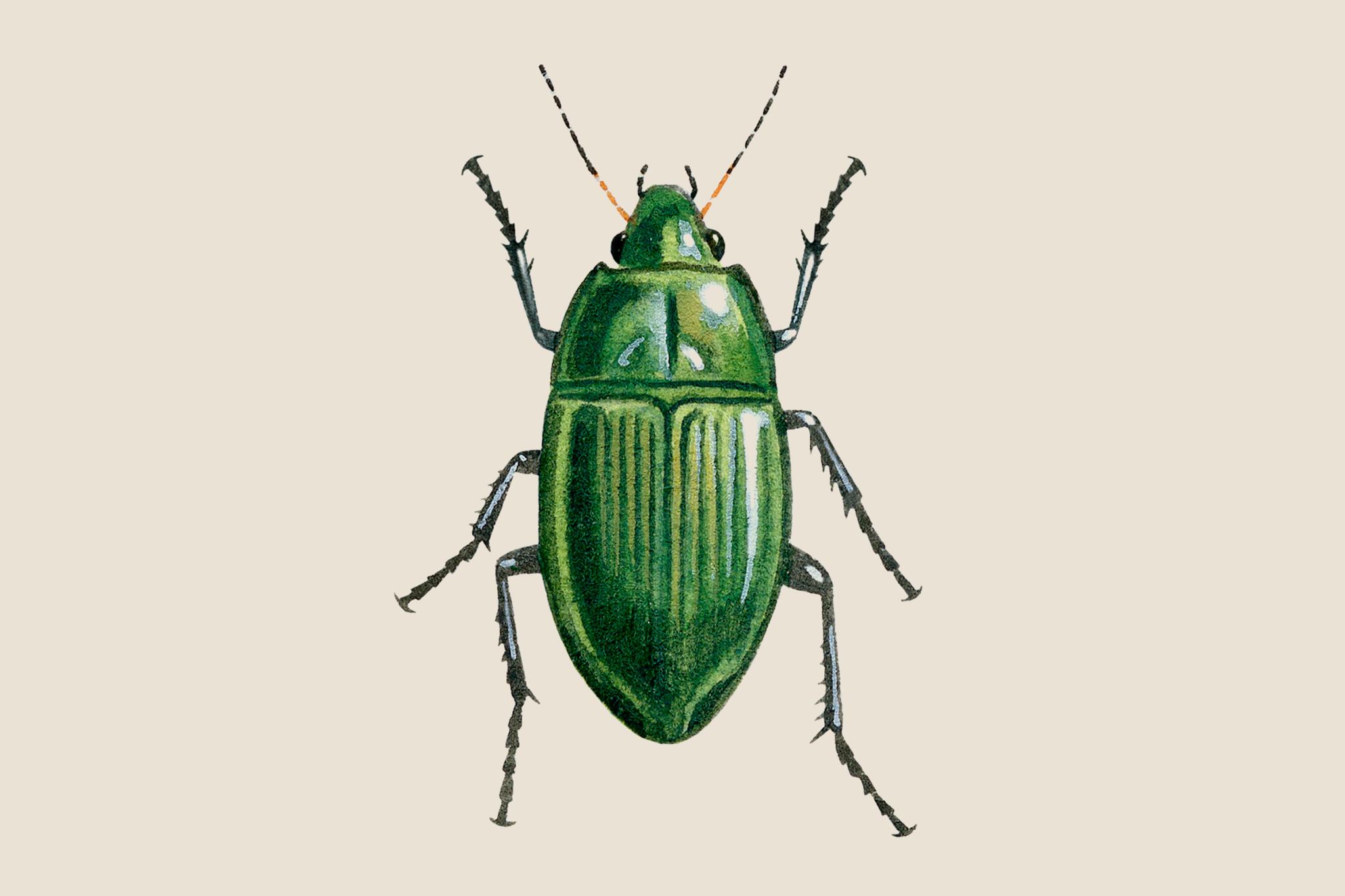 Sun beetle, Amara aenea