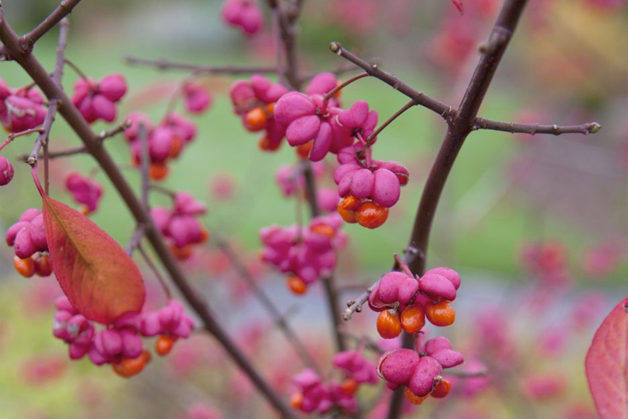 10 Unusual Shrubs For Autumn Gardenersworld