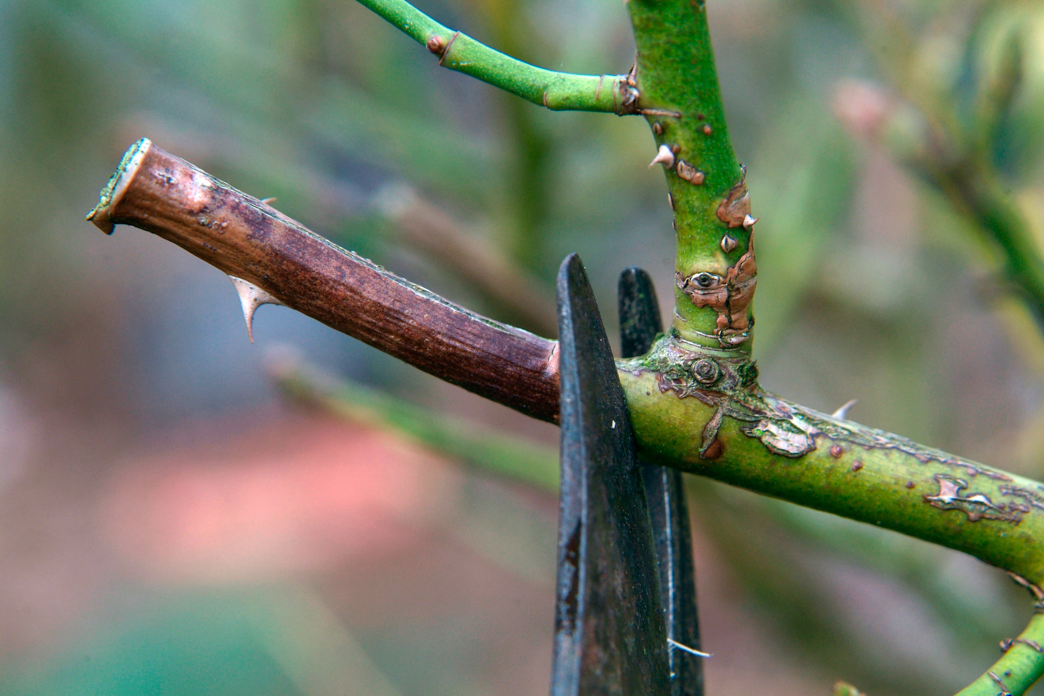 pruning-off-a-dead-rose-shoot-2