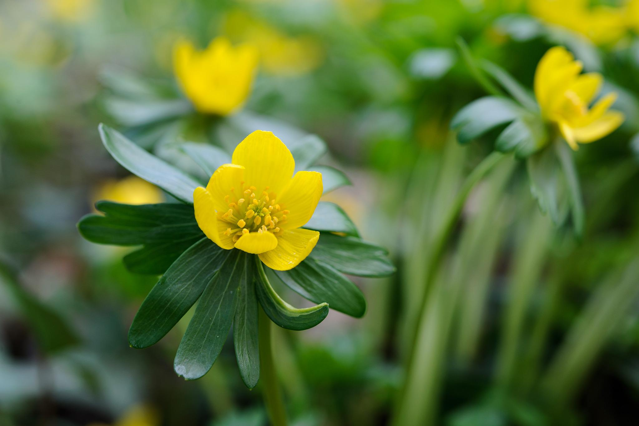 winter-aconite-flower-eranthis-hyemalis-2