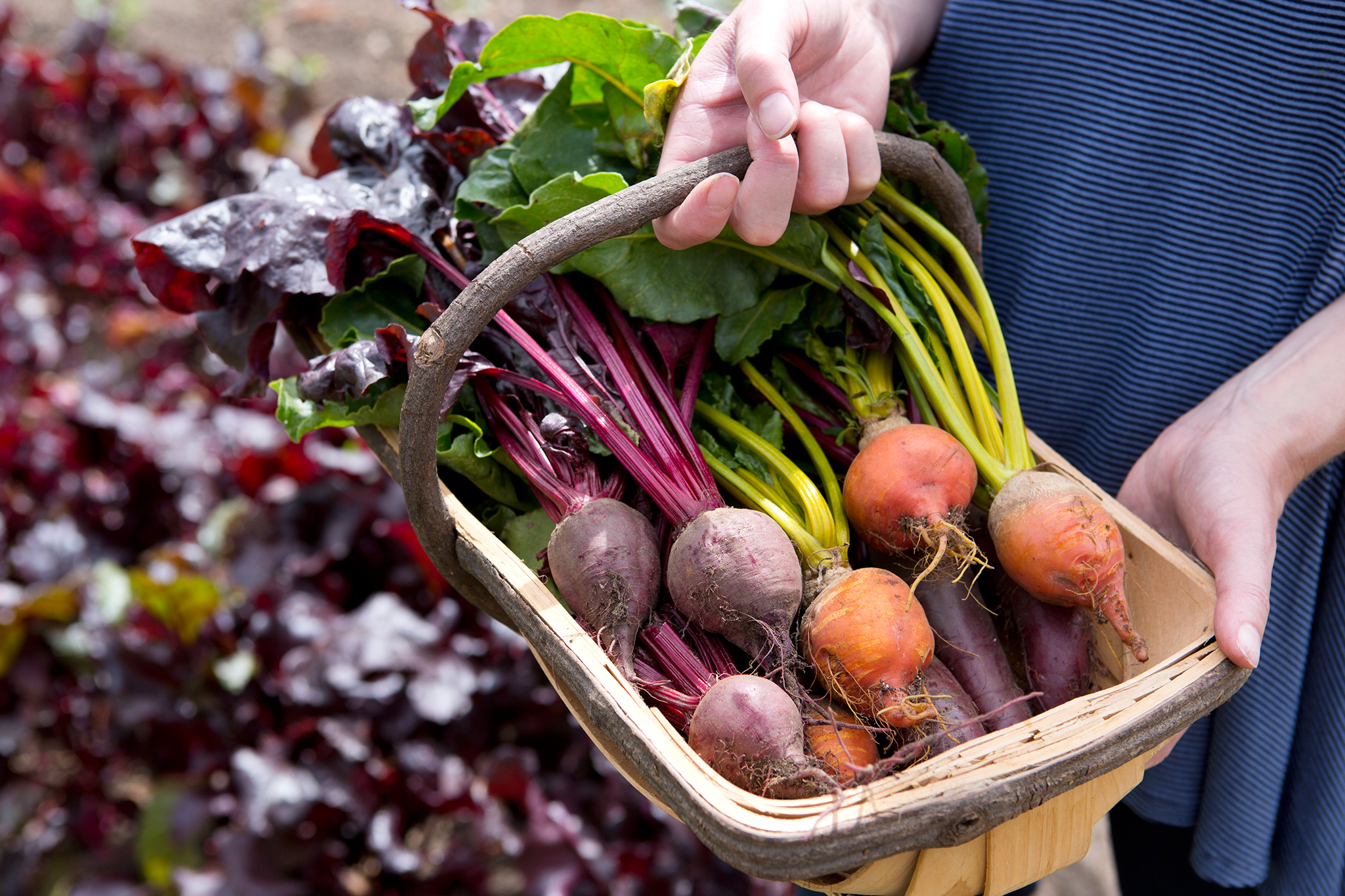 Harvested beetroot