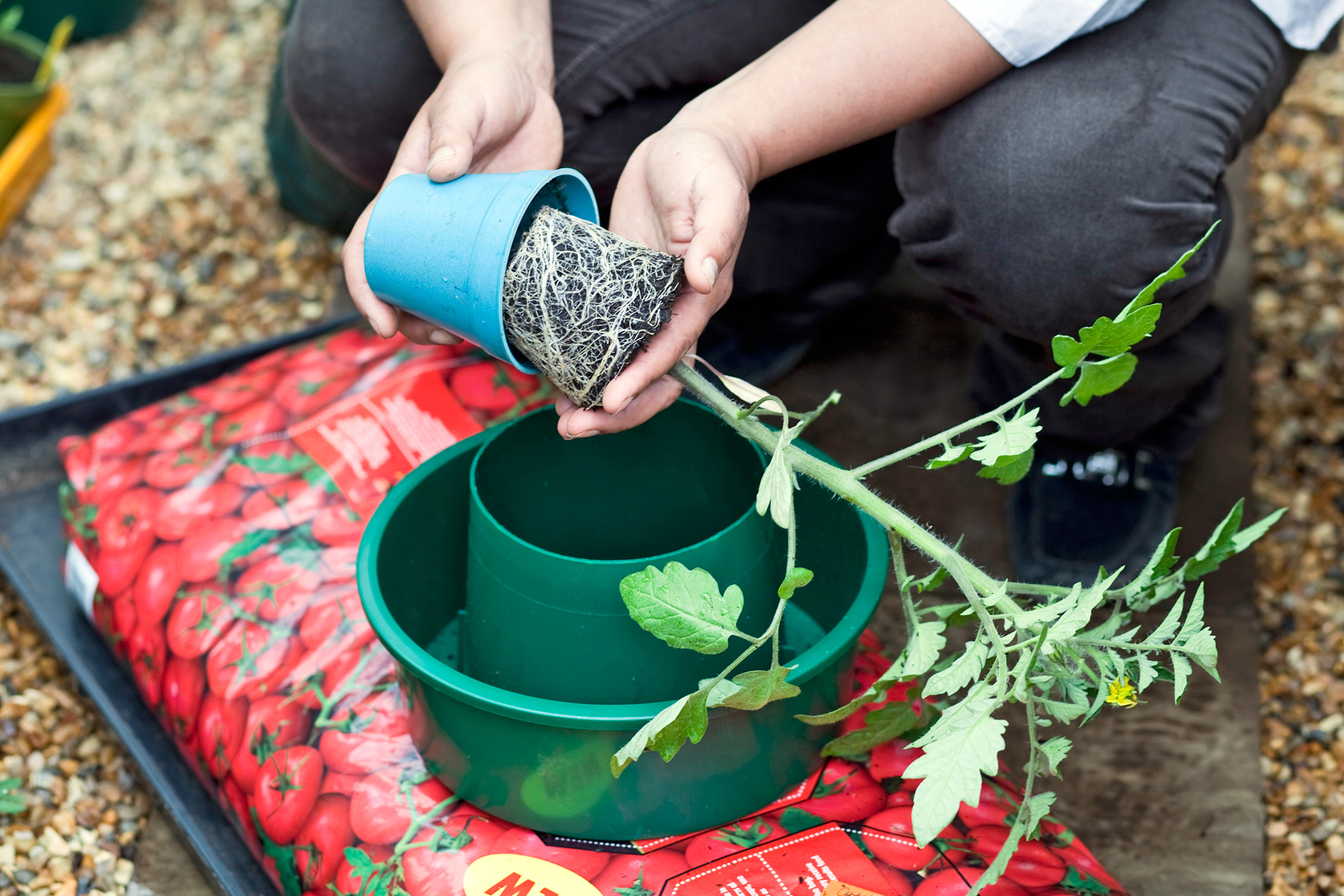 planting-a-tomato-plant-into-a-growing-ring-2