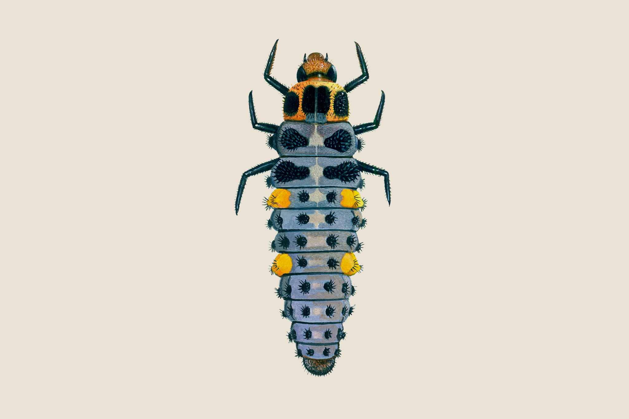 seven-spot-ladybird-larvae-2