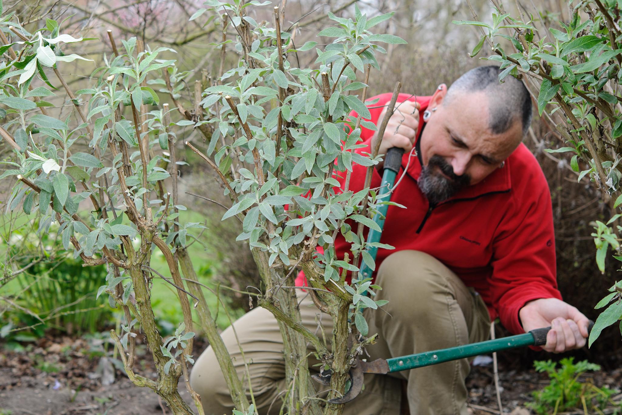 pruning-buddleja-4