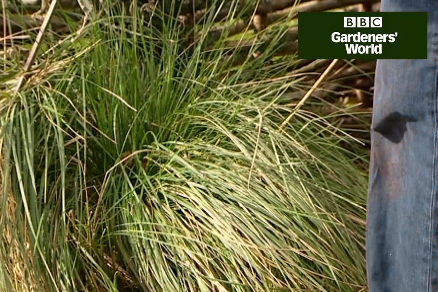 How to cut back ornamental grasses video