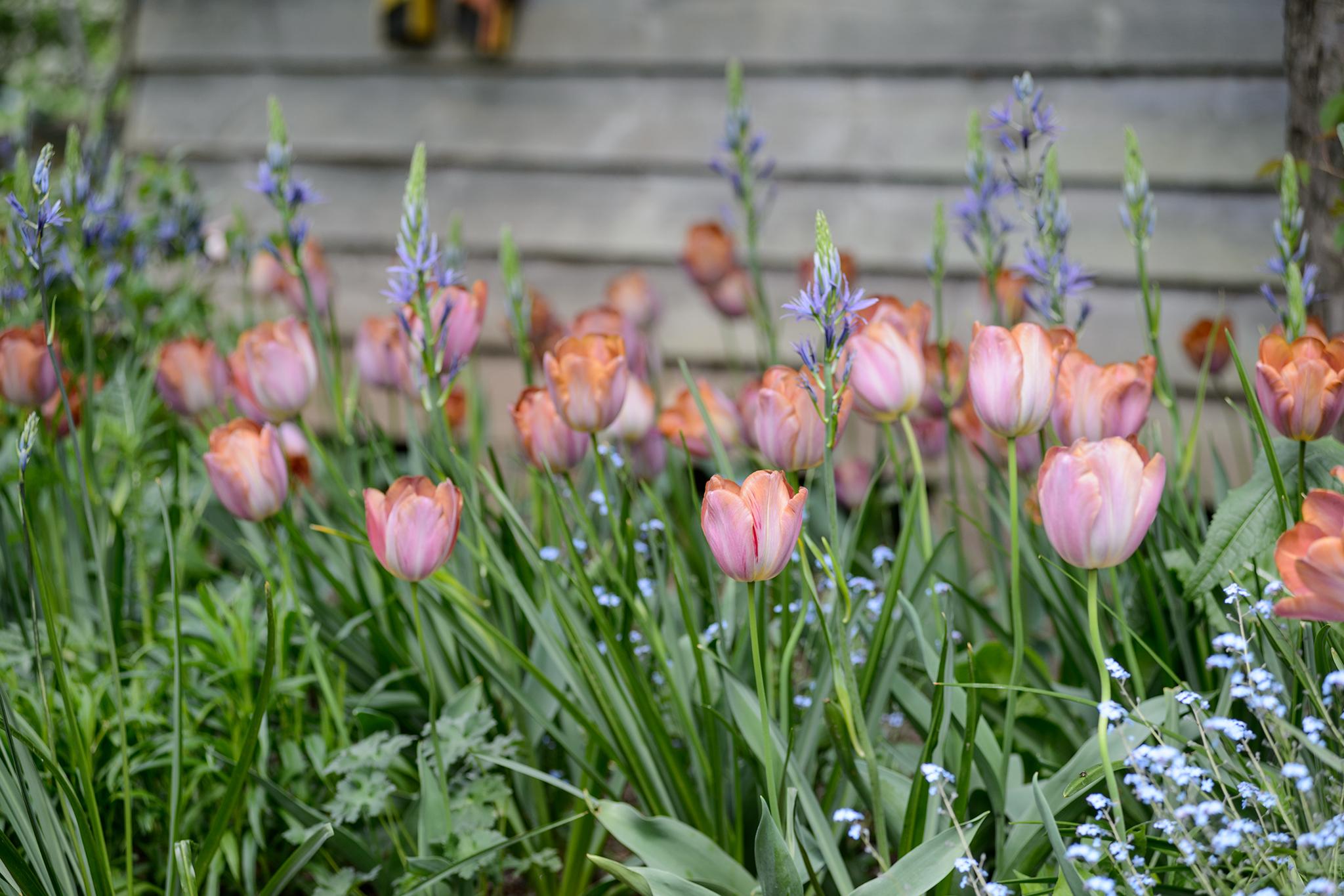 tulipa-bruine-wimpel-3