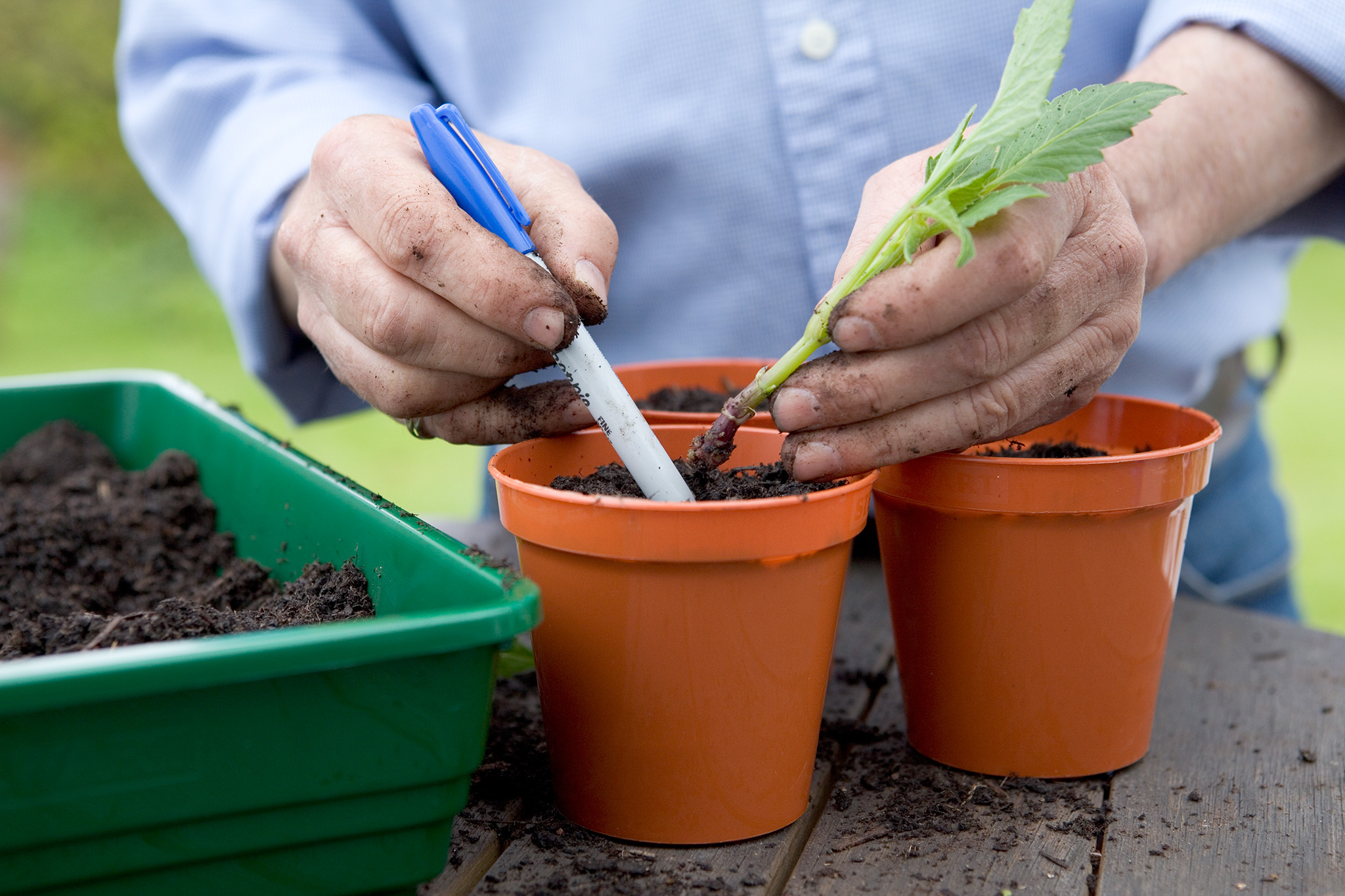 Taking basal cuttings from dahlias