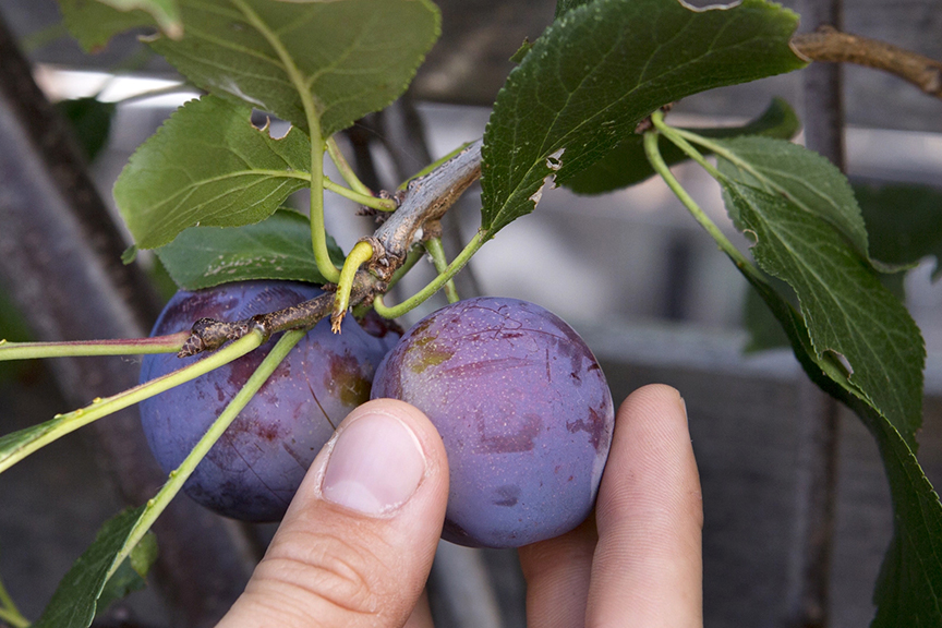 Quick Tips Why doesn't my plum tree fruit every year
