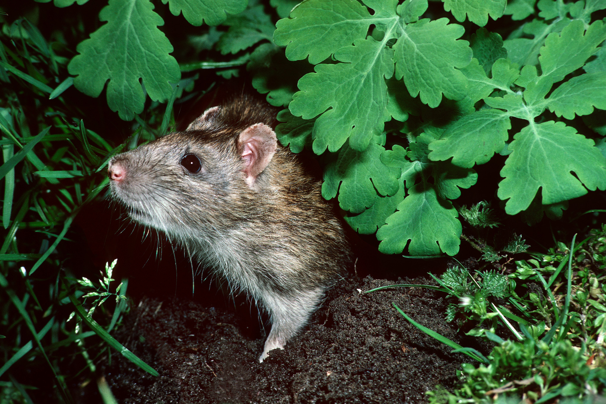 Rat in the garden. Credit: Getty Images