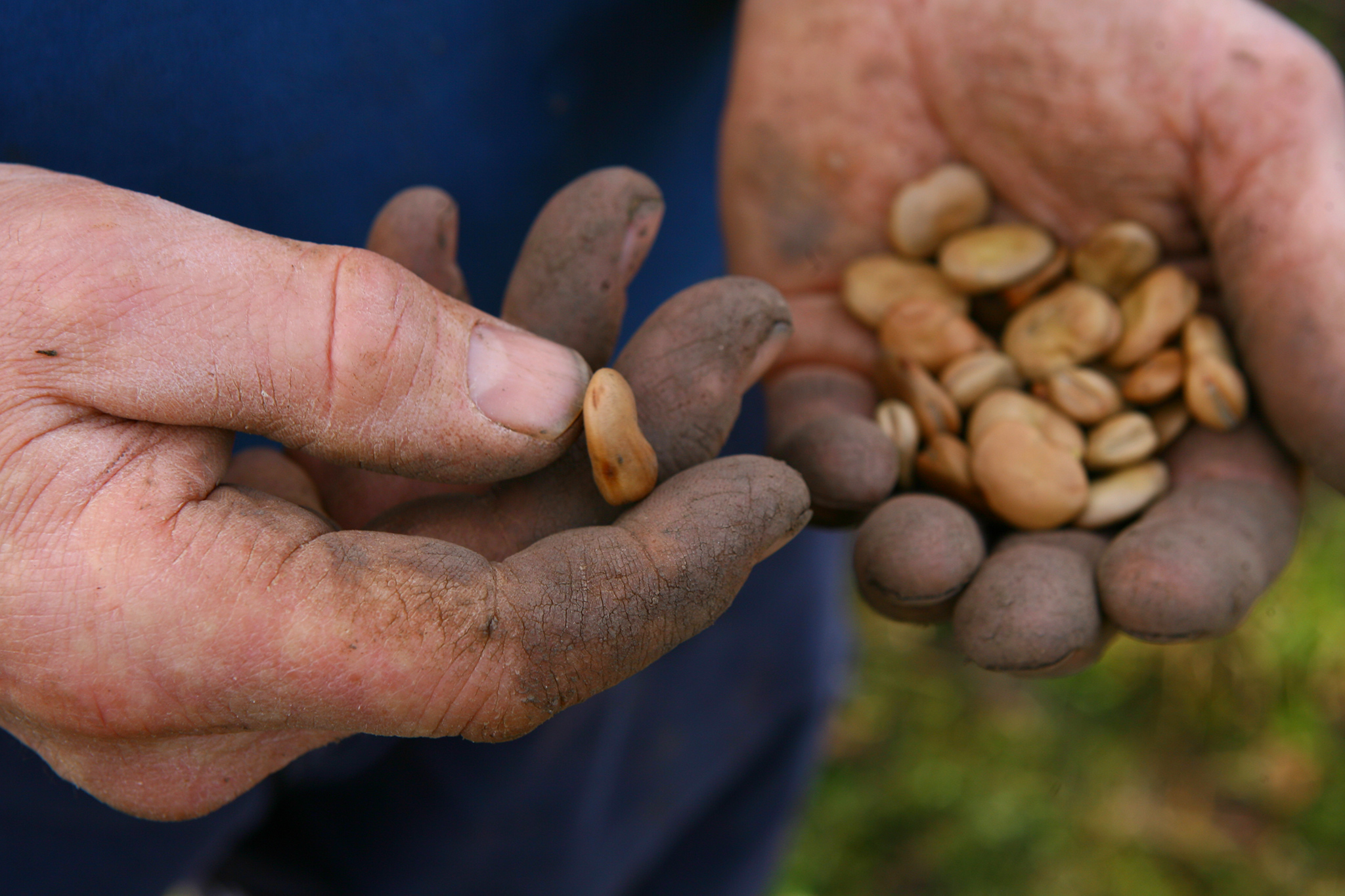 sowing-broad-beans-4
