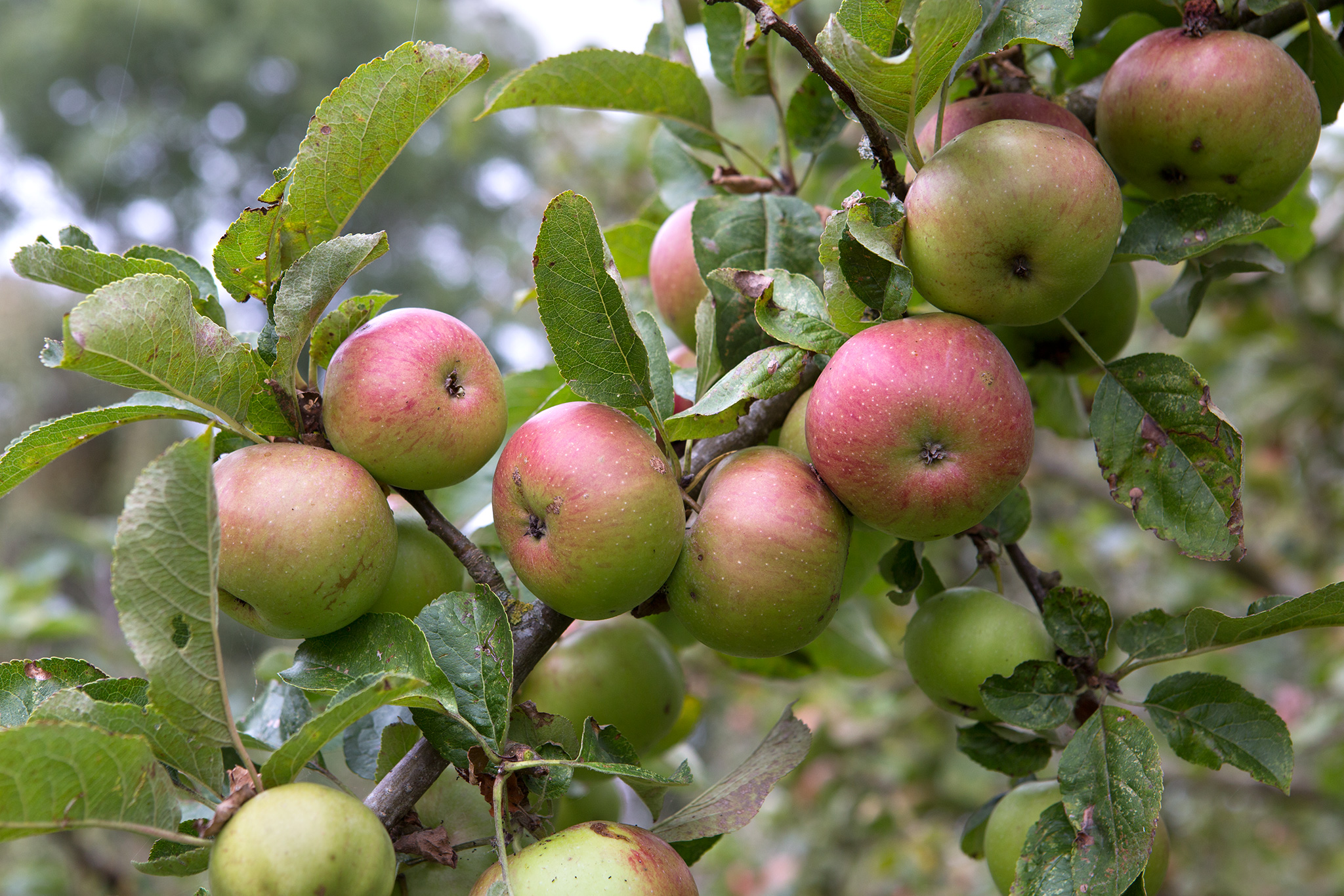 apples-on-tree-2