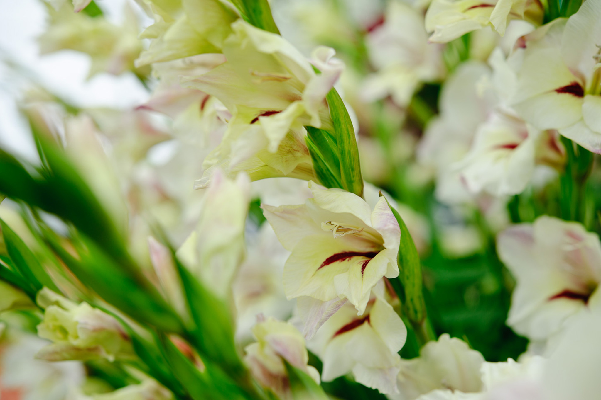 gladiolus-nanus-2