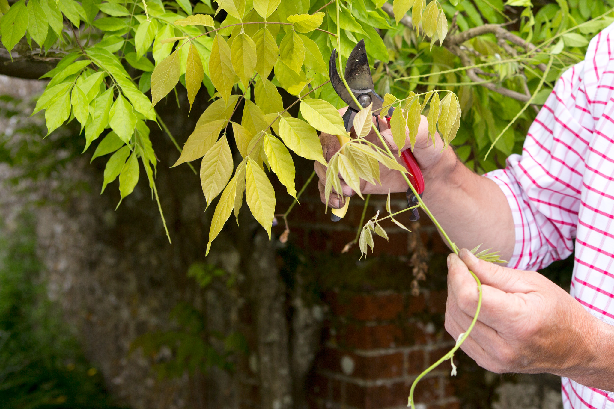 pruning-wisteria-in-summer-5