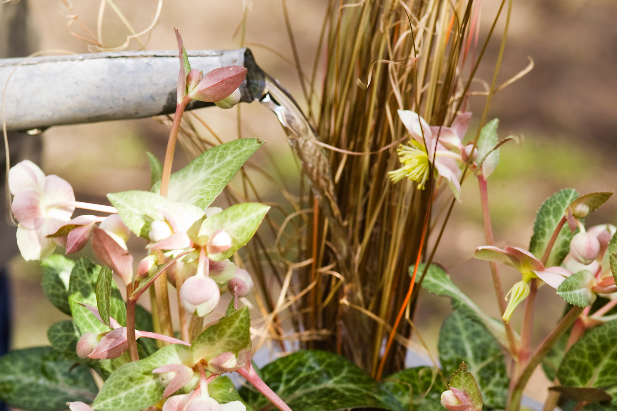 watering-the-hellebore-and-carex-pot-display-2