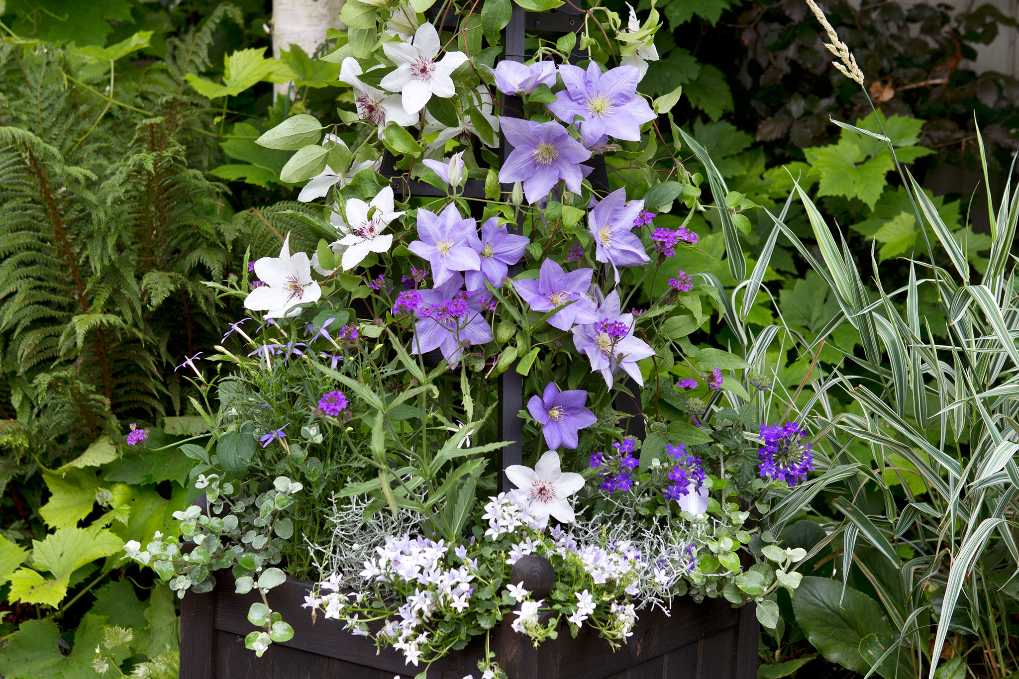 Container planted with two clematis cultivars