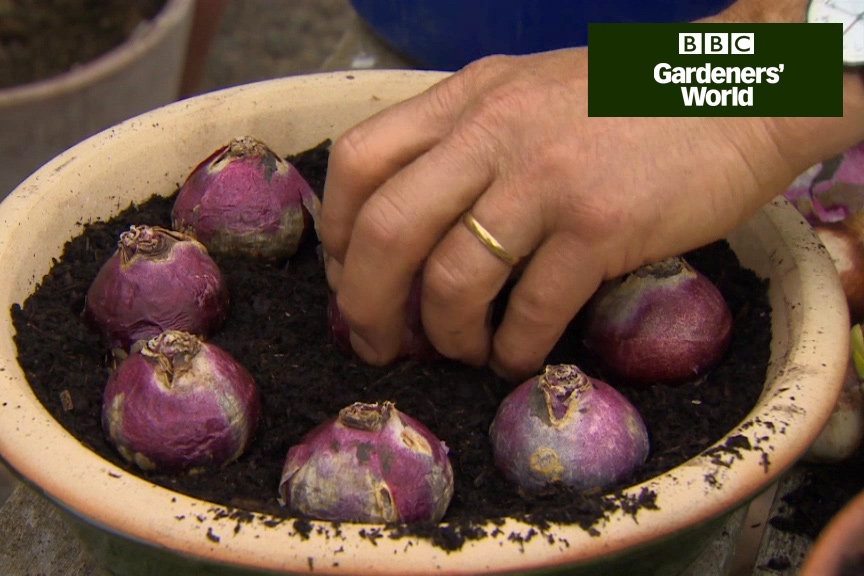 How to grow fragrant hyacinths for Christmas video