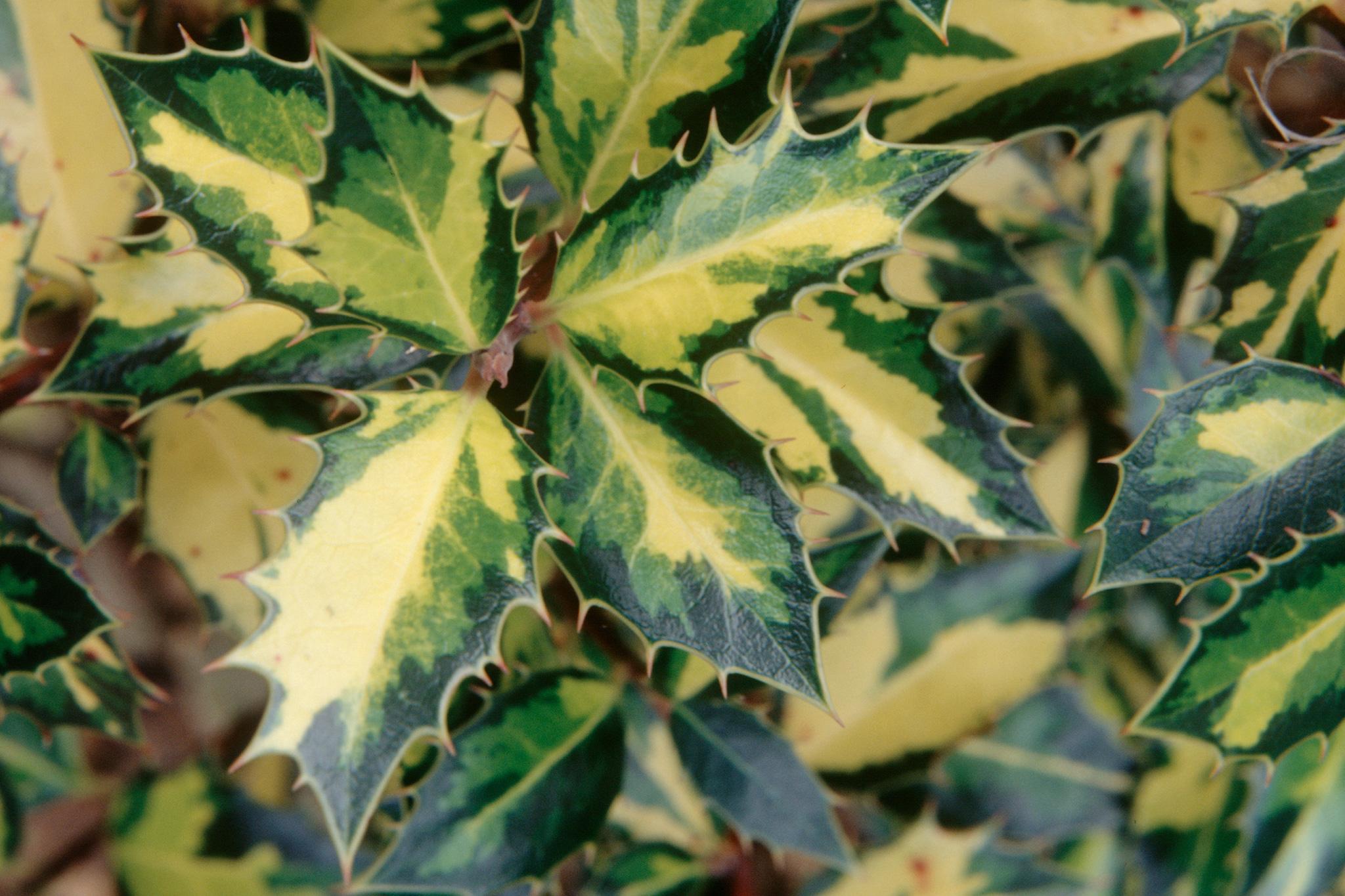 ilex-aquifolium-myrtifolia-aurea-maculata-2