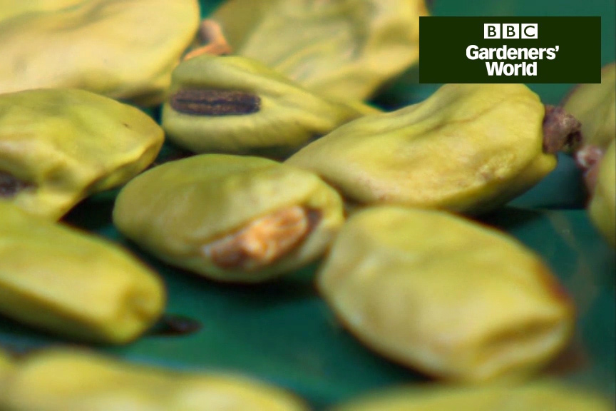 How to collect and sow broad beans in autumn video