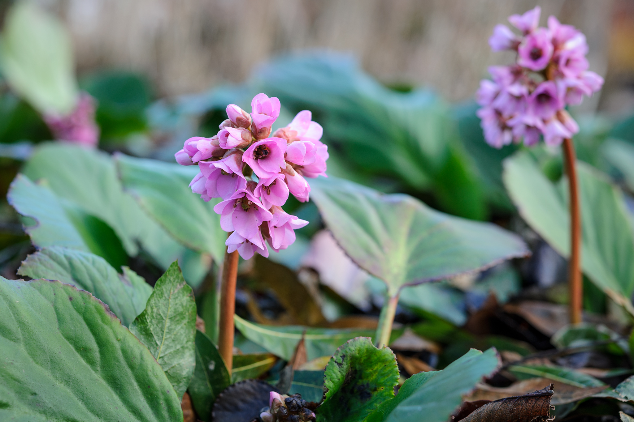 Flowering Ground Cover Shade Plants Gardenersworld