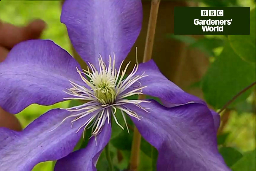 How to plant summer-flowering clematis video