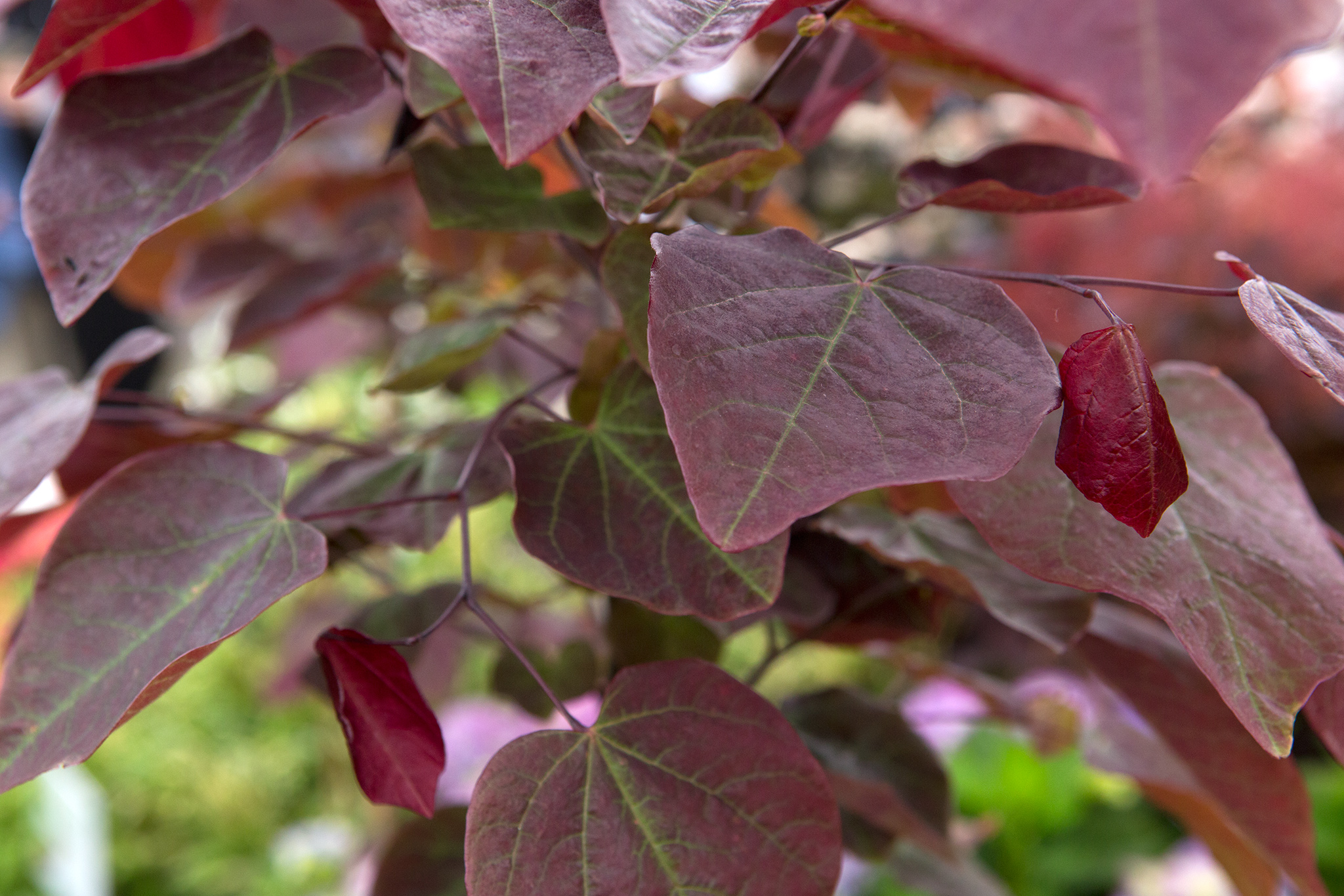 cercis-canadensis-forest-pansy-9
