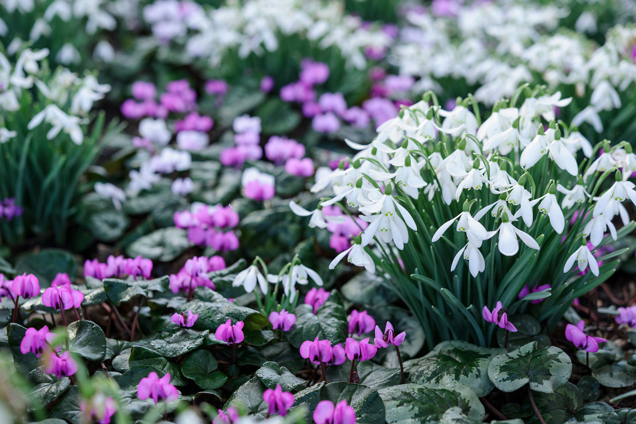 Best Snowdrop Planting Combinations - Snowdrop and cyclamens