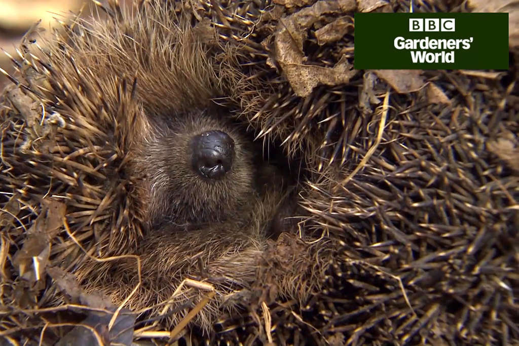 How to provide shelter for hedgehogs video