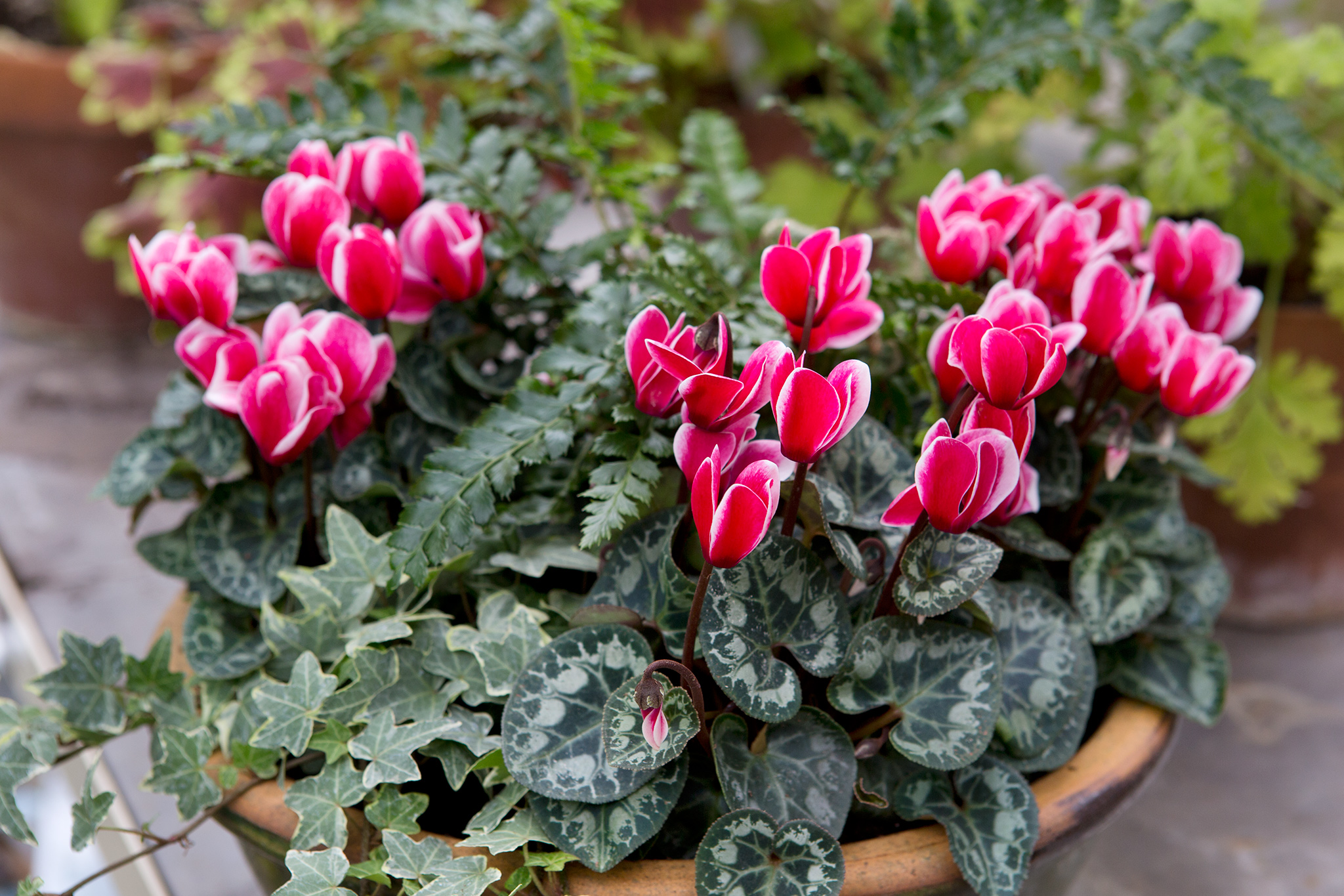 cyclamen-fern-and-iris-container-2