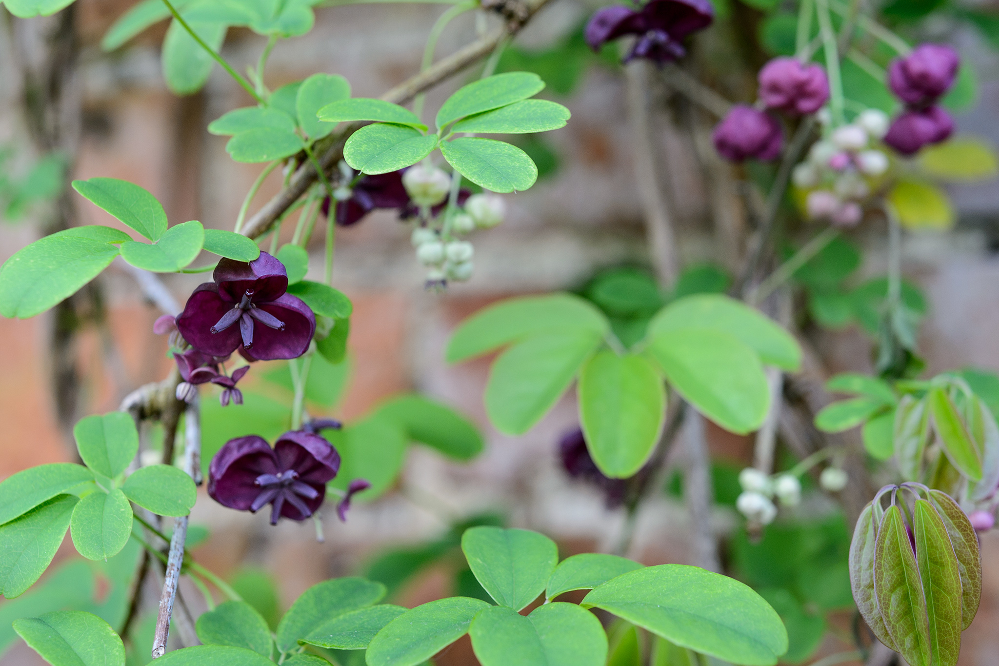 Five plants for a north facing wall gardenersworld akebia quinata chocolate vine mightylinksfo