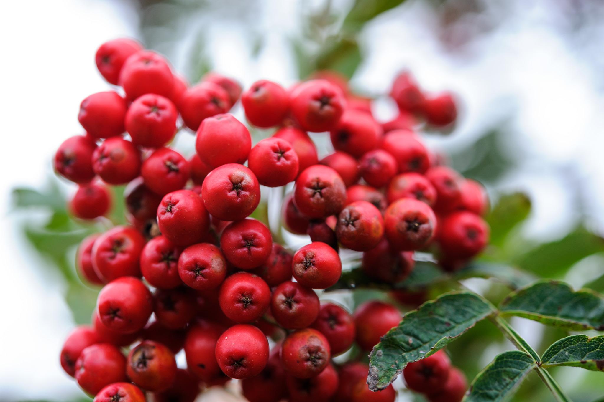 red-rowan-berries-2
