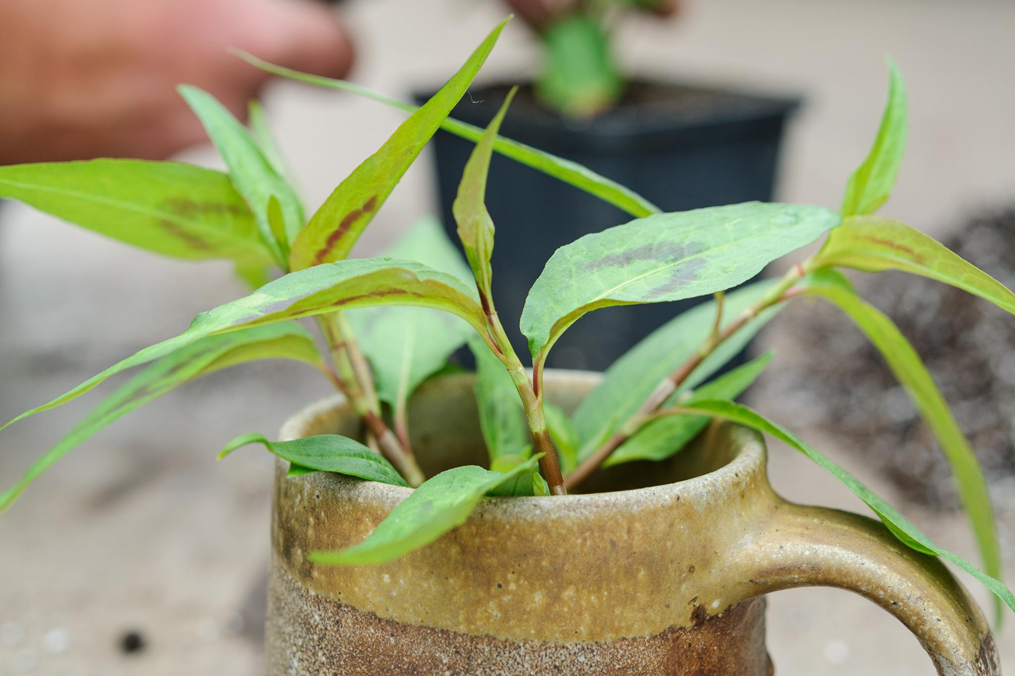 10 Unusual Herbs to Grow