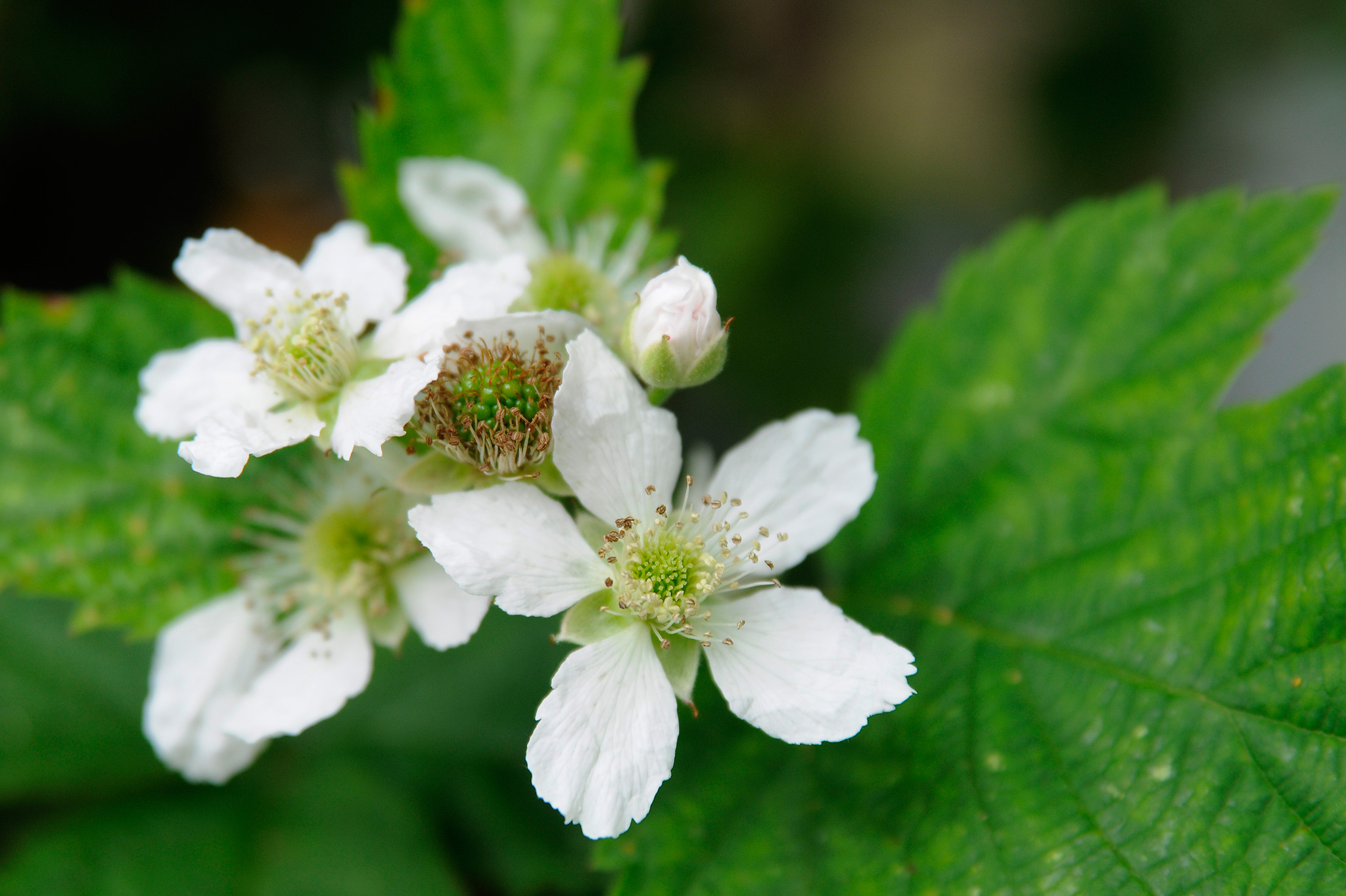 blackberry-flowers-3