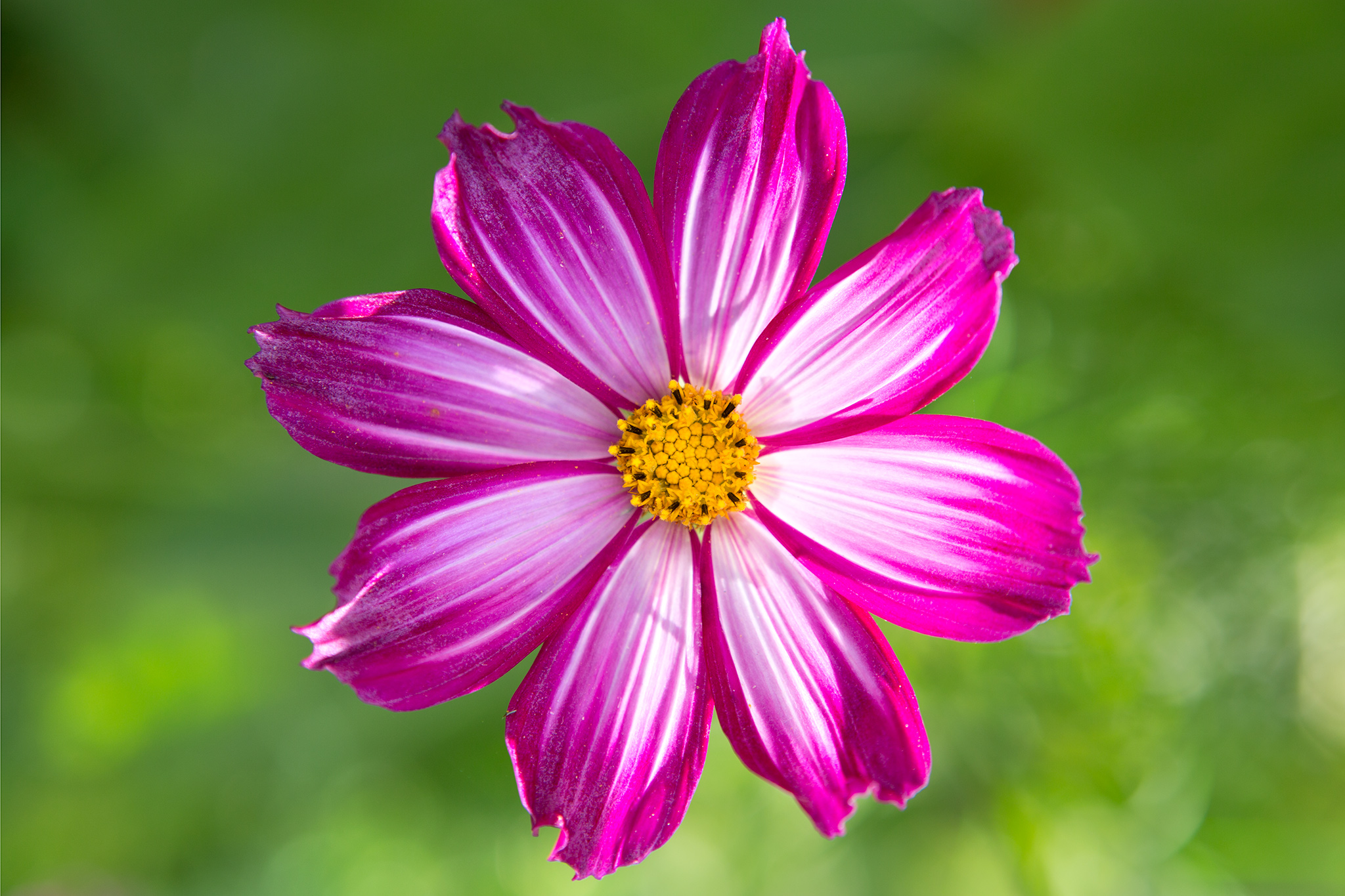 pink-single-flowered-cosmos-2