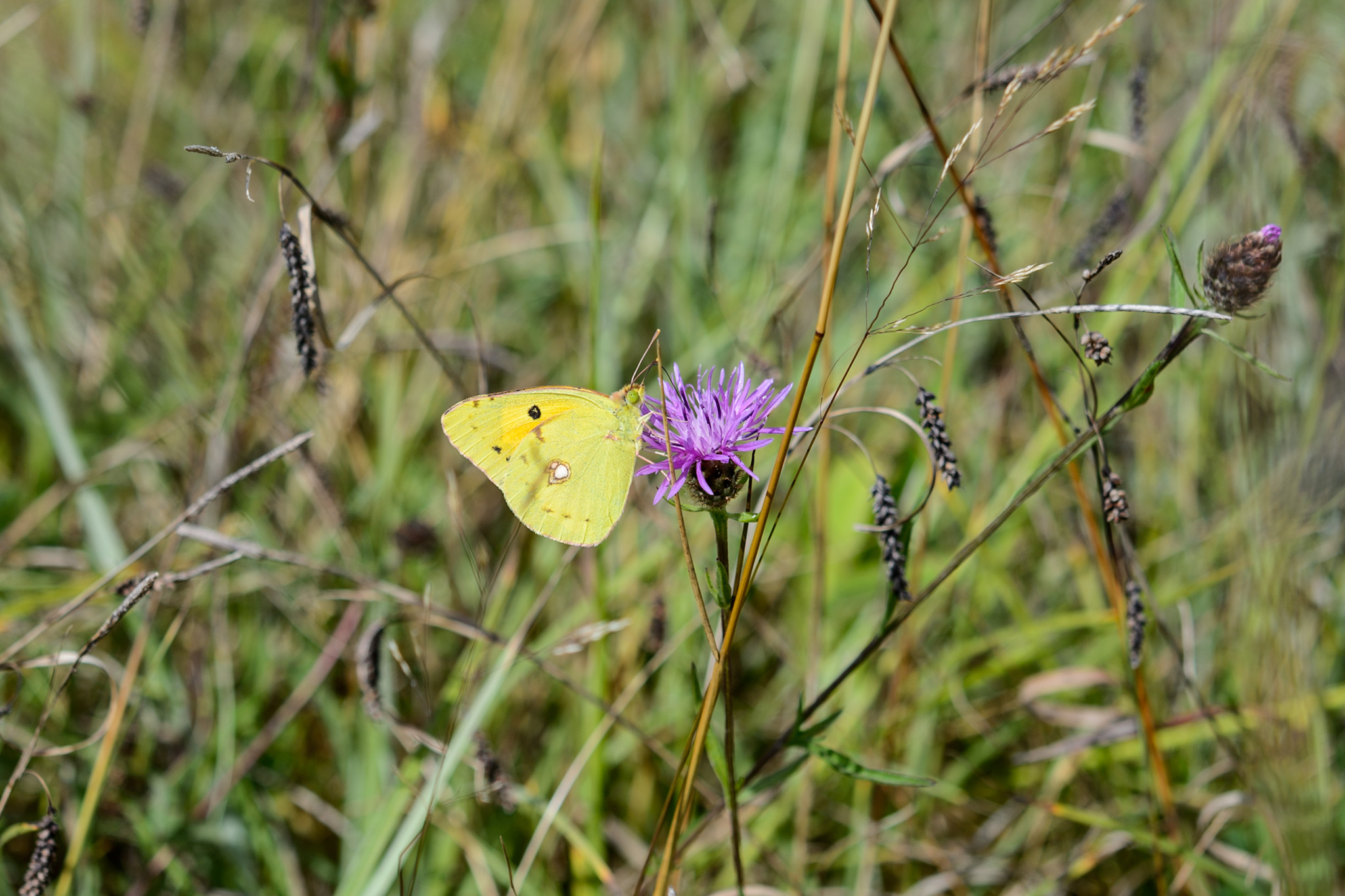 yellow-brimstone-butterfly-on-knapweed-centaurea-nigra-flower-2