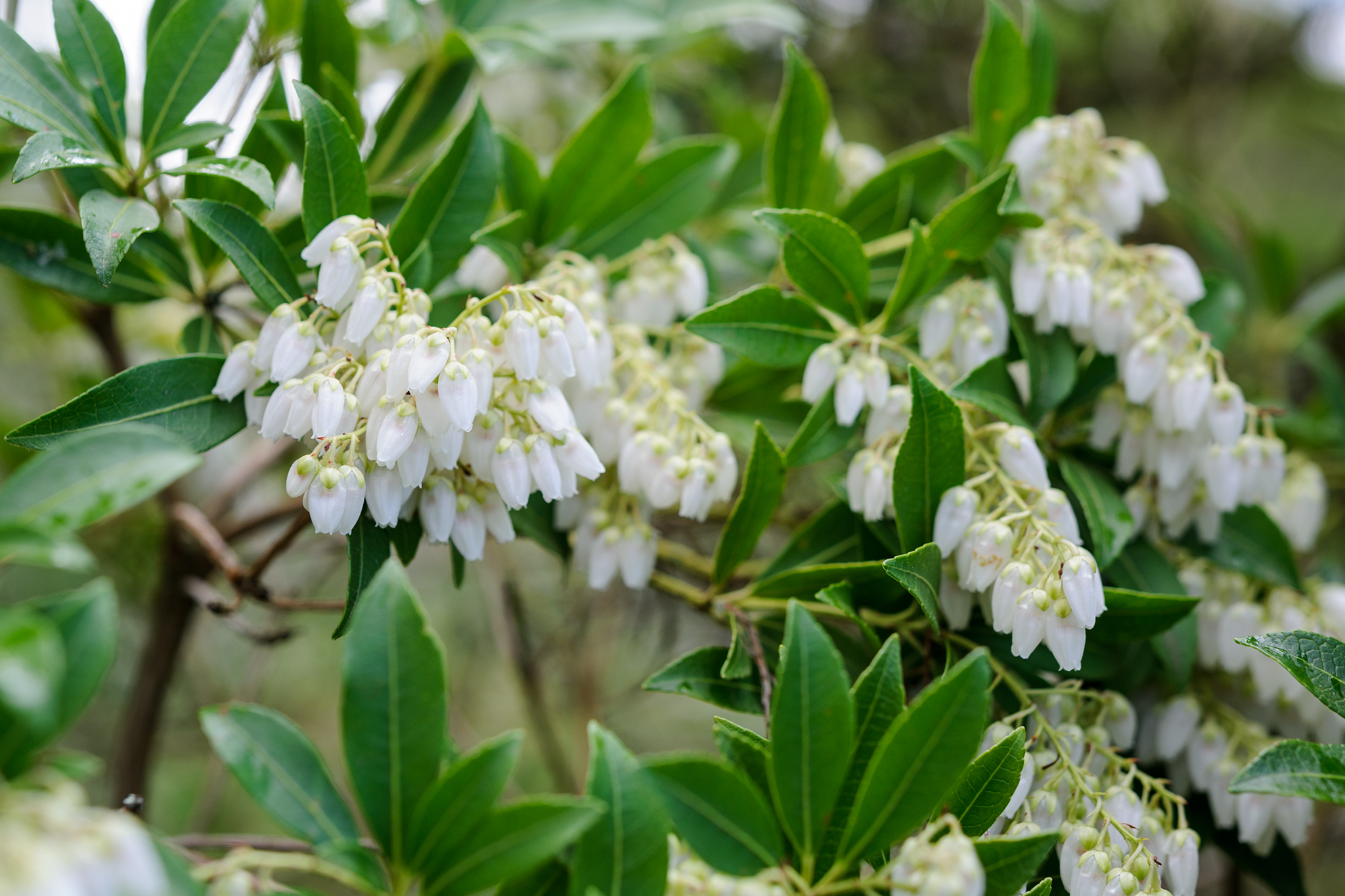 Best Shrubs to Grow in Shade