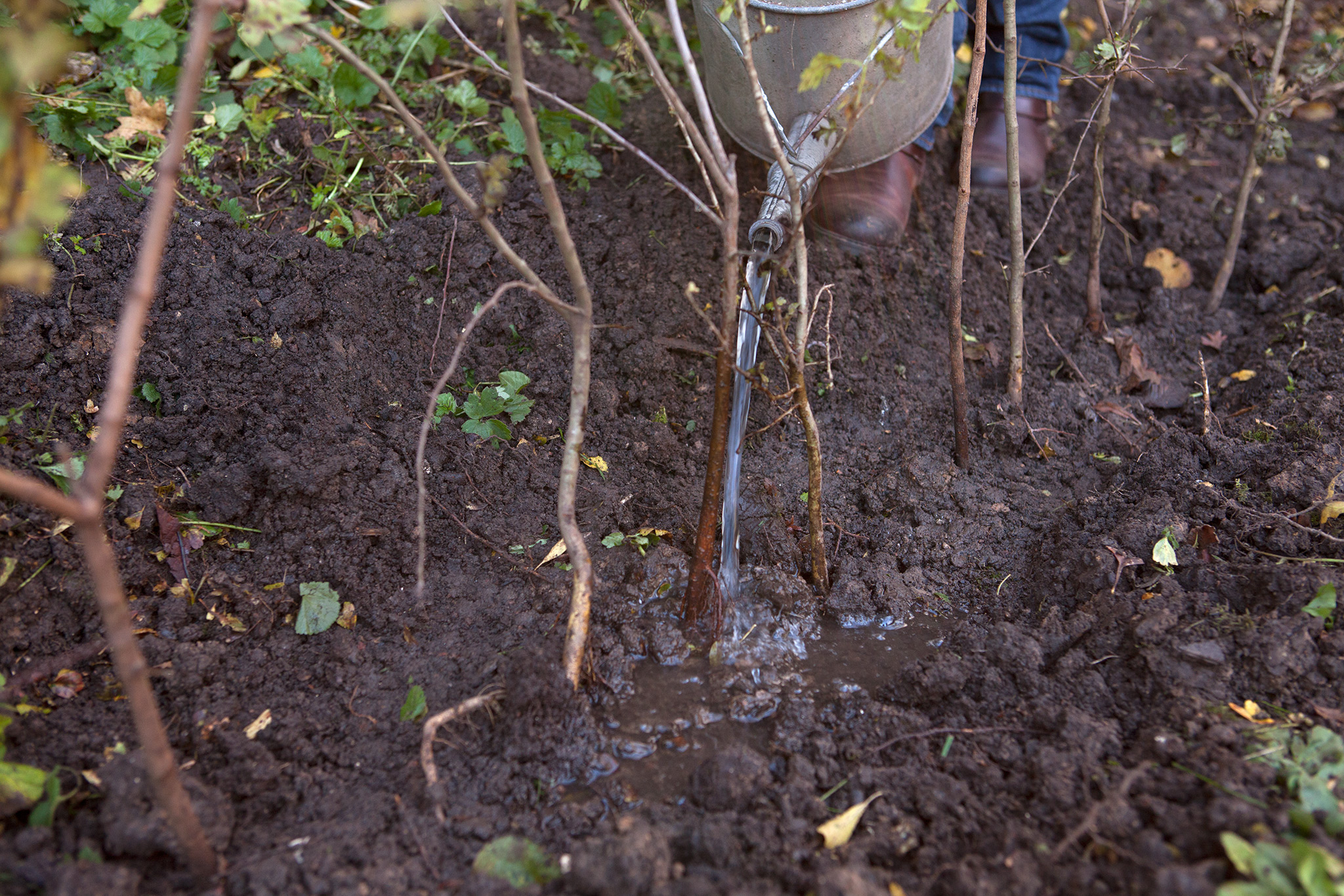 planting-a-bare-root-hedge-2