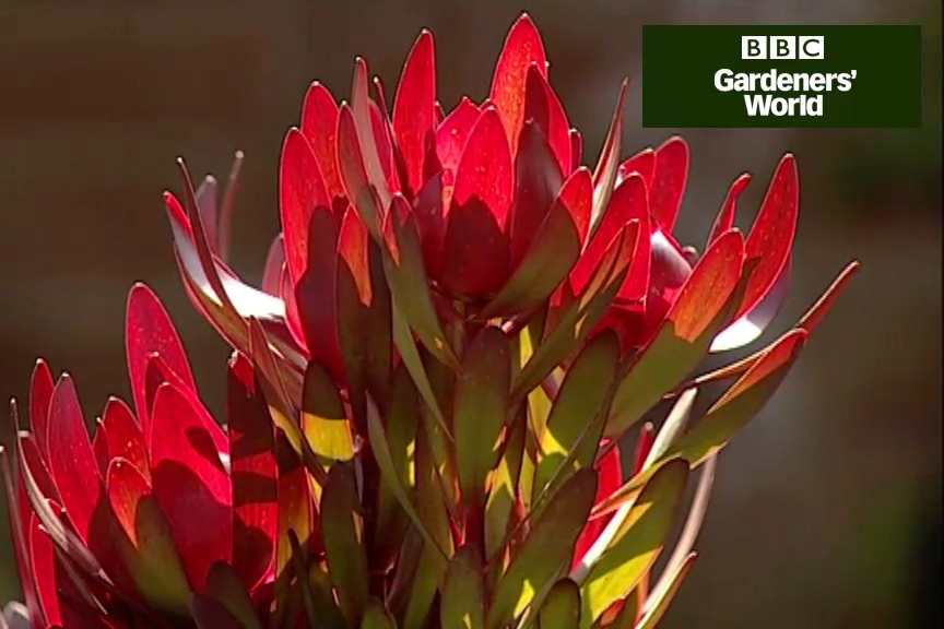 How to grow proteas video
