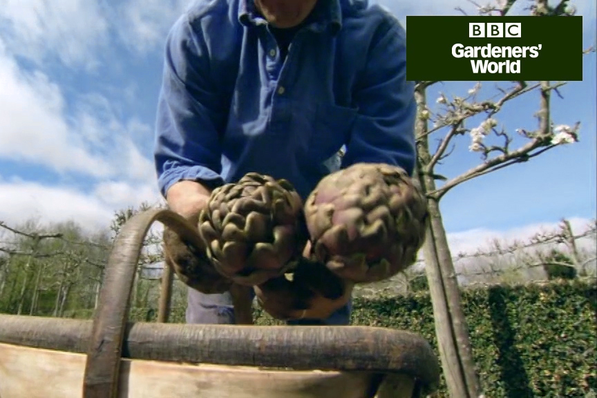 How to plant globe artichokes video