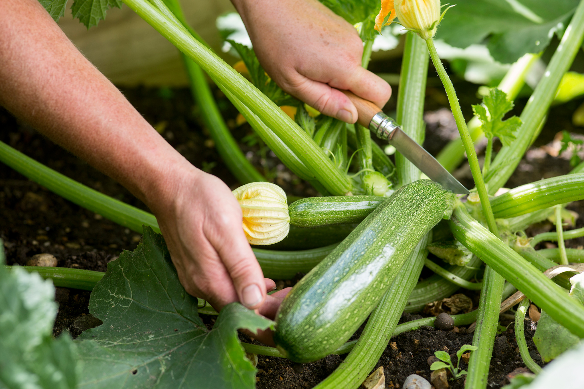 harvesting-courgettes-in-september-2