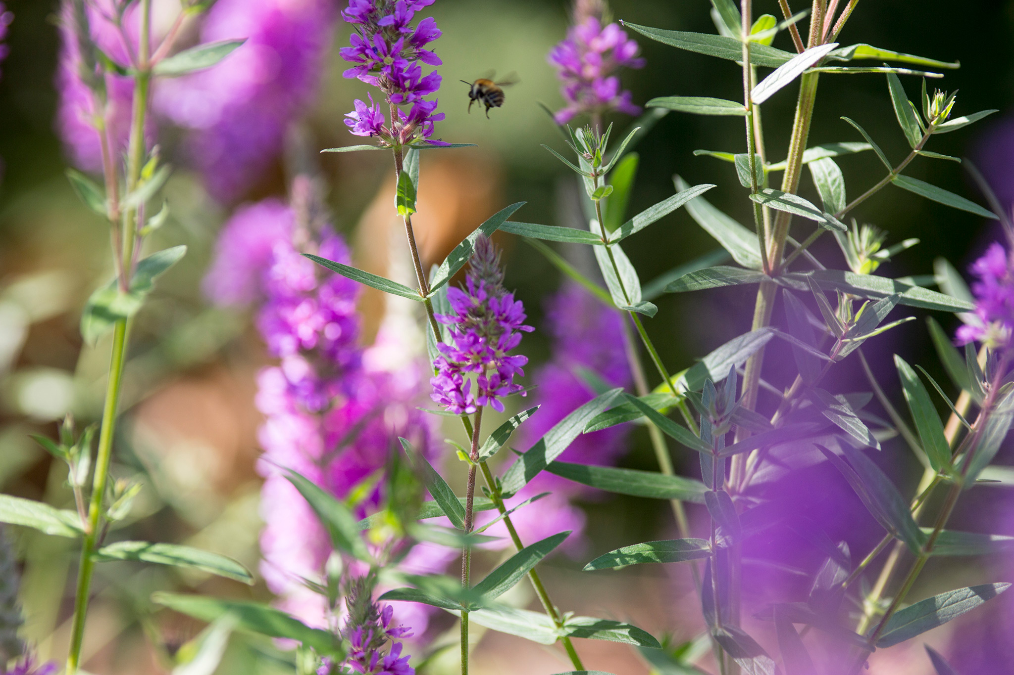 purple-loosestrife-lythrum-salicaria-flowers-with-bee