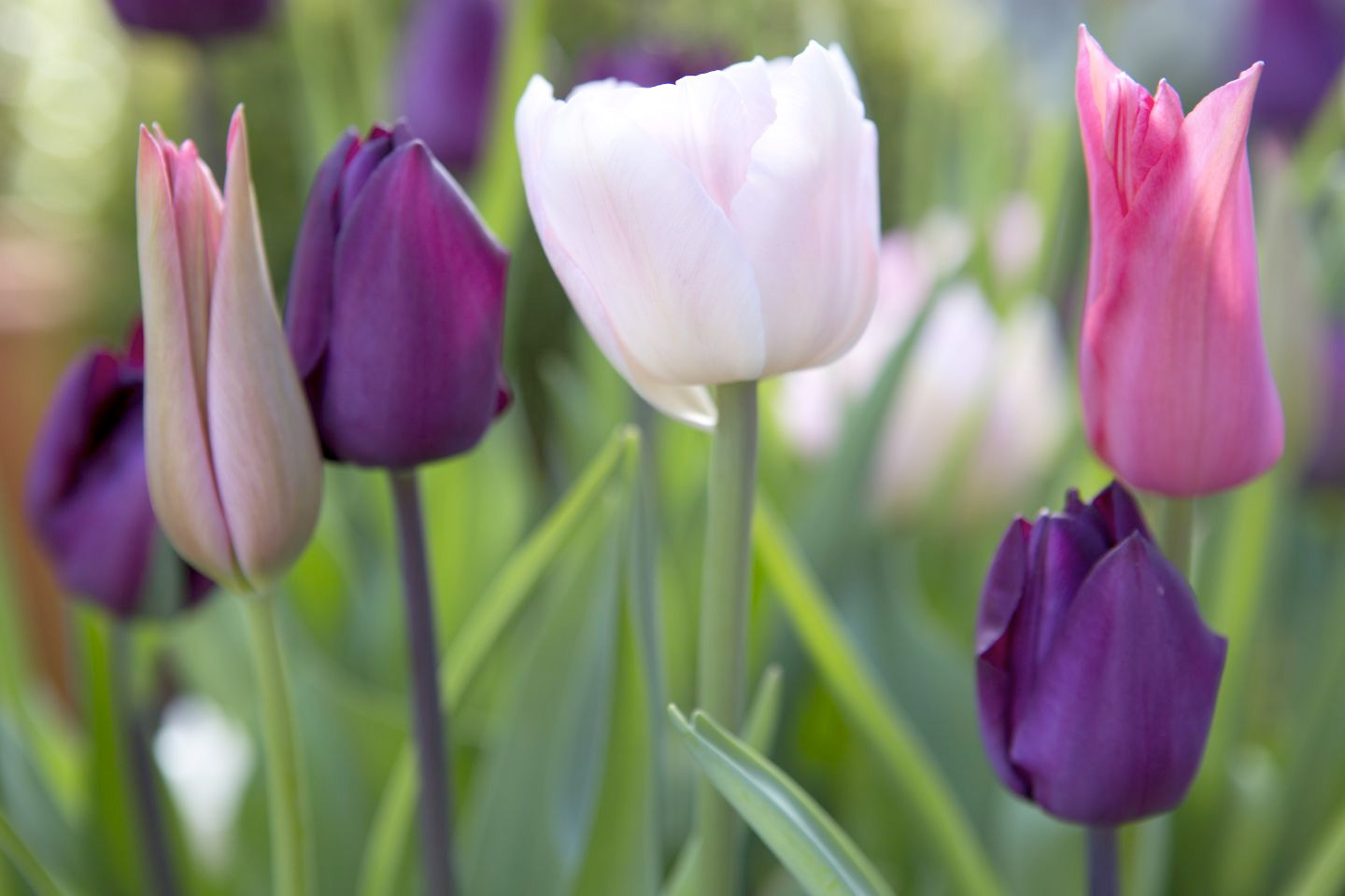 pink-and-purple-tulip-display-3