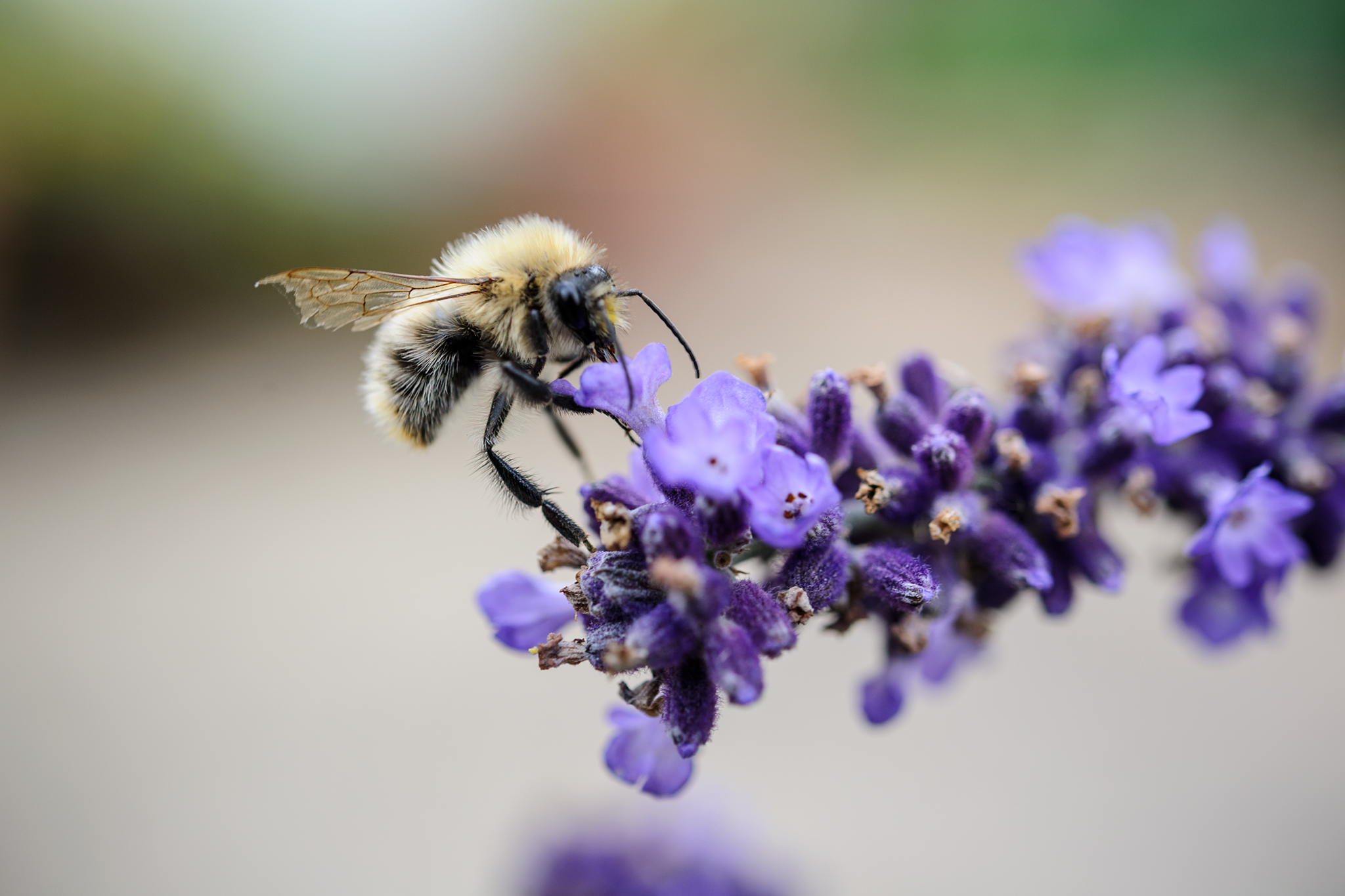 bee-on-lavender-5