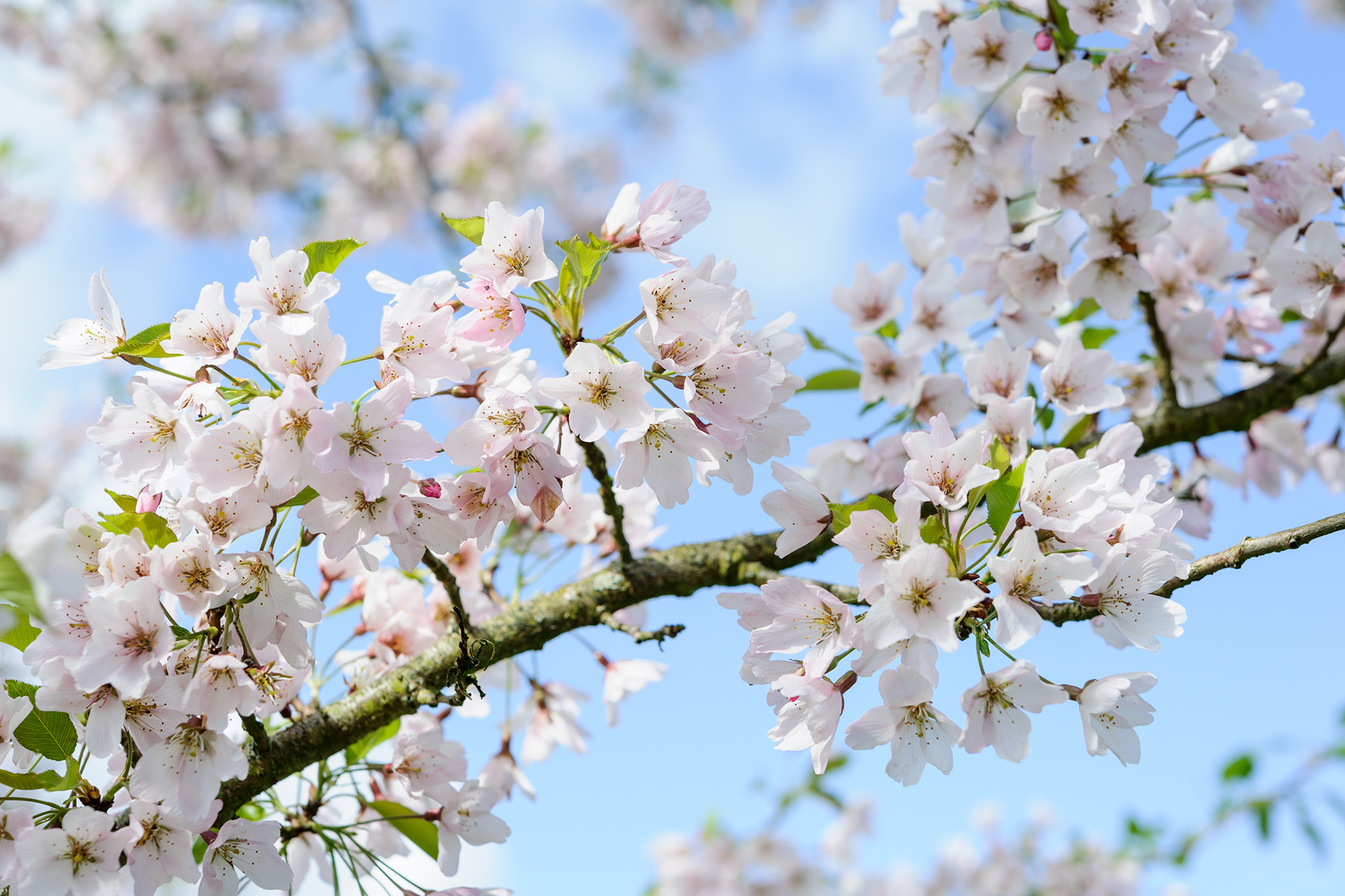10 trees with beautiful spring blossom gardenersworld prunus pink shell 3 mightylinksfo