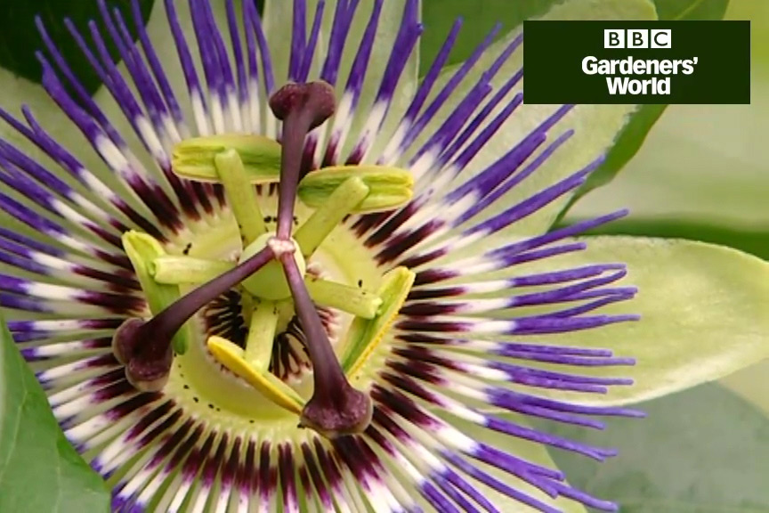 How to plant a passion flower video