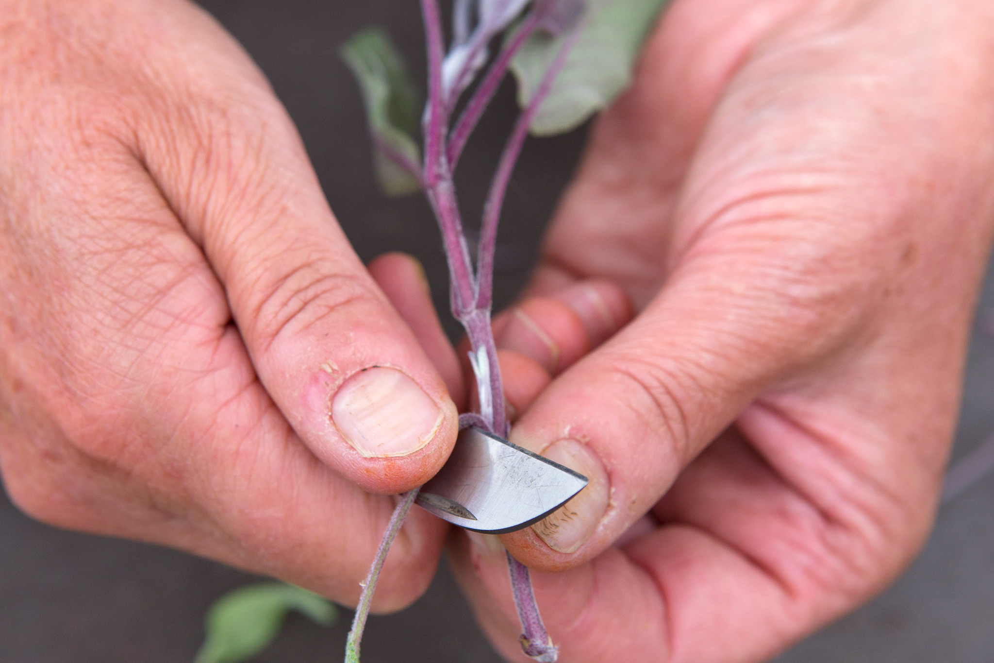 taking-cuttings-from-sage-2