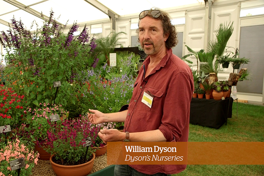 Caring for salvias - Golden Rules - William Dyson