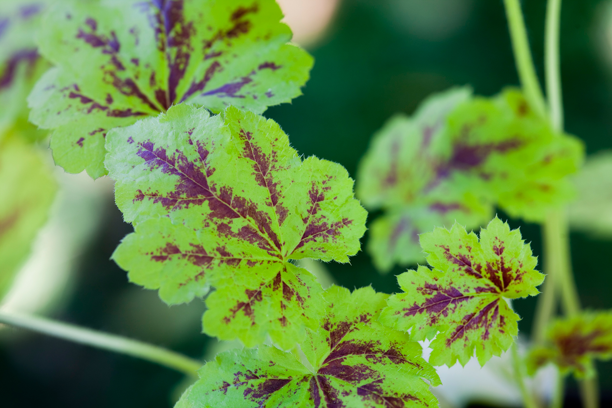 heucherella-solar-power-3