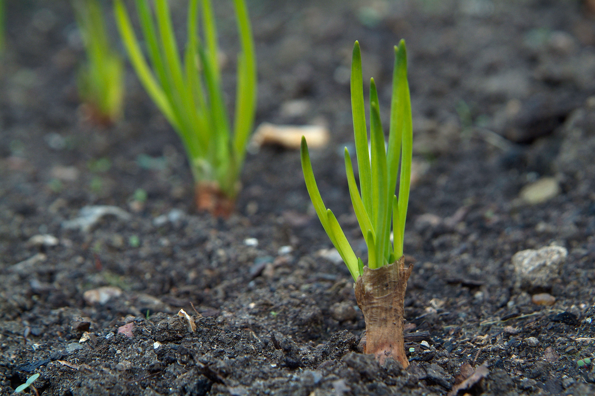 shallot-foliage-appearing-above-ground-2