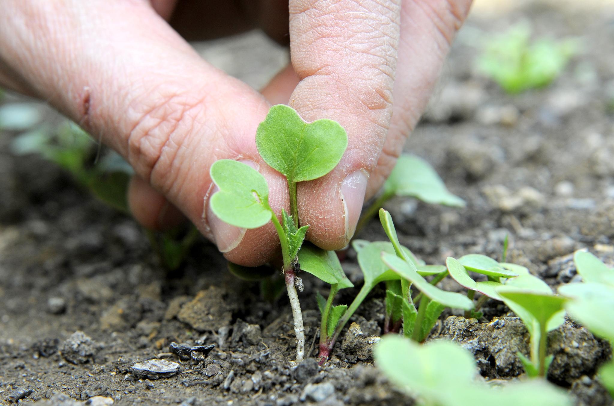 pricking-out-radish-seedlings-4